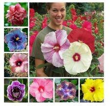 Ibisco Gigante Colori Assortiti Profumeria 8 Semi Seeds