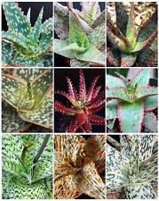 ALOE HYBRID MIXED exotic cultivar color cacti rare cactus aloes seed 100 SEEDS