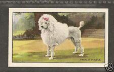1936 UK Dog Art Body Gallaher Cigarette Card White MINIATURE STANDARD POODLE