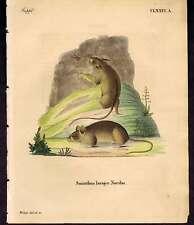 Southern birch mouse-1835 Natural History Weber  HC