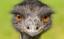 EMU POSTER PICTURE PHOTO PRINT BANNER bird australia long neck ostrich gray 4686