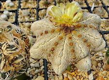 Astrophytum japan-thailand hybrid seed mix alpus super kabuto shinshowa Samen