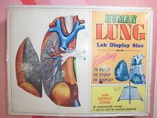 ANATOMIA HUMANA MAN ANATOMY MODEL Human Lung lab Display size Pyro