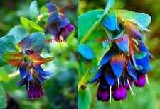 ORGULLO GIBRALTAR pride - camaron azul  - cerinthe major PRECIOSIDAD semillas