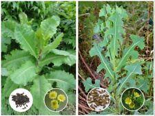 Opium Lettuce (Lactuca virosa) & Prickly Lettuce (L. serriola) Buyer Gets Both