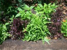 MEZCLA de ALBAHACA muchos SABORES COLORES 1100 semillas