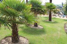 de 41 a 200 graines de palmiers trachycarpus fortunei (palmier chanvres) -18°