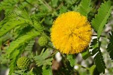 8 graines Mimosa de Farnèse Parfumé(Acacia Farnesiana)G194 SEEDS SAMEN SEMILLAS