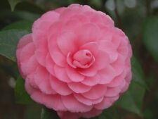 P 00004000 ink Perfection Camellia Japonica - Live Plant - Quart Pot