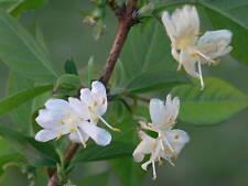 Winter Honeysuckle, Lonicera fragrantissima, Shrub Seeds, (Fast Fragrant Hardy)