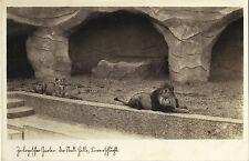 Halle - Saale - Tierpark-Zoo-Zoologischer Garten, Löwe, Ak um 1930