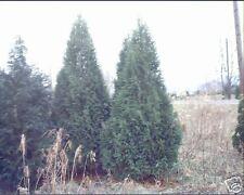 Thuja occidentalzis Darkgreen American Arborvitae Seeds