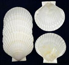 "Japanese Baking Scallop Dish Shells (5"") Seashells Clam,Pecten,Cockle~6/12 Pcs."