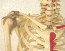 "Life-size human skeleton anatomical model 5'7"" w ligaments New medical student"