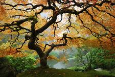 Fototapete Japanischer Baum Ahorn - Kleistertapete oder Selbstklebende Tapete