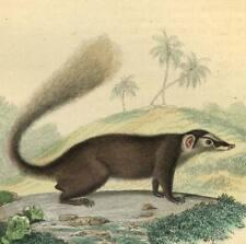 Melogale Blaireau furet GRAVURE DE BUFFON 1835