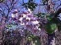 Paulownia fortunei UNIQUE TREE SEEDS!