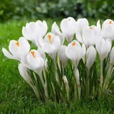 """Bolly Bulbs® Crocus """"Miss Vain"""" Ice white flowers, easy to grow anywhere"""