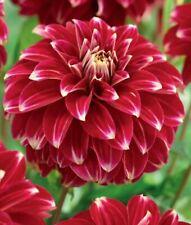 "Schmuck Dahlien Red Rock /""1 oder 3 Wurzelstöcke/"" Blumenzwiebeln Dahlie"