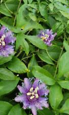 Passiflora edulis var flavicarpa Yellow Passion Fruit Flower Seeds