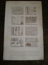 Planches/gravures  D'Orbigny  homme coupe de la peau   Zoologie  année 1848