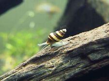 "Assassin Snails (Clea helena) - 1/2"" to 1"" by Aquatic Arts"