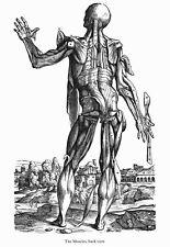 ML38 Vintage Medical Anatomy Illustration Male Female Vesalius Poster A2//A3//A4