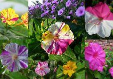 50 - 100 - 200 semillas Mirabilis jalapa-milagro flor