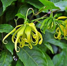 Ylang Ylang pkt 10-15 Tree Seeds Cananga Odorata exotic perfume fragrant flowers