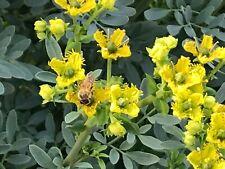 S. California Garden Organic Rue Seeds, Ruda, Ruta Graveolens Plant Seeds