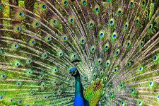 Fototapete Blauer Pfau Gefieder Federn  - Kleistertapete oder Selbstklebende