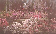 Beautiful Azaleas and Spanish Moss in Dixieland.  Postcard