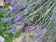 Lavender -  Bulgarian 100% PURE Essential Oil - multiple sizes