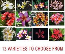 Frangipani Plumeria - 5 freschi semi vitali-scelta di 12 varietà Pretty