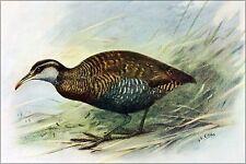Poster, Many Sizes; Extinct Chatham Islands Buff-Banded Rail Bird 1907