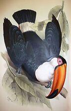 John Gould Native Bird print Pecan painting Vintage Old Australia