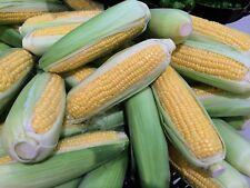 Golden Bantam Sweet Corn Seeds! Heirloom Natural Non Gmo Sweet and Juicy