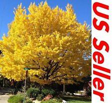 10 PCS Ginkgo Biloba Regular Tree Seeds T35,  Bonsai Trees Seeds T15, US Seller