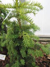 Taxus baccata dovastoniana Aurea - gelbe Adlerschwingen-Eibe