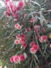 New Hakea Tree Seeds Fast Growing Hardy Screen Border Scoparia Garden Plant Seed