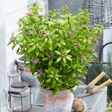 Daphne Evergreen Hardy Shrub Garden Plant Sweet Amethyst 1 or 2 x 9cm Potted T&M