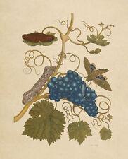 "Maria Sibylla Merian: ""Grapevine with Gaudy Sphinx Moth"" (1705) — Fine Art Print"