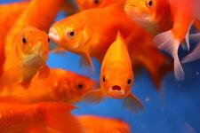 Live Comets Goldfish for your Pond, Fish Tank, Aquarium FREE SHIPPING