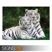 Blanco tigres de Bengala (3588) Cartel De Animales-foto arte cartel impresión * Todos los Tamaños
