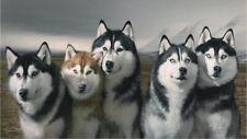 62919 Siberian Husky Wall Print Poster CA