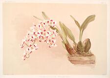 Odontoglossum Pescatorei By Joseph Sander Floral Print