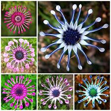 Mix Daisy Osteospermum Seeds Rare Stunning Garden Plant