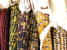 corn, INDIAN ORNAMENTAL, large, 20 SEEDS! GroCo