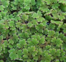 AZOLLA CAROLINIANA - pianta galleggiante per laghetti e acquari