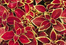 50 Coleus Seeds Wizard Scarlet Seeds